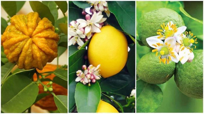 Первоначальная формула была изменена за счет добавления эфирных масел цветов померанца, бергамота, лимона / Фото: lipotherapeia.com