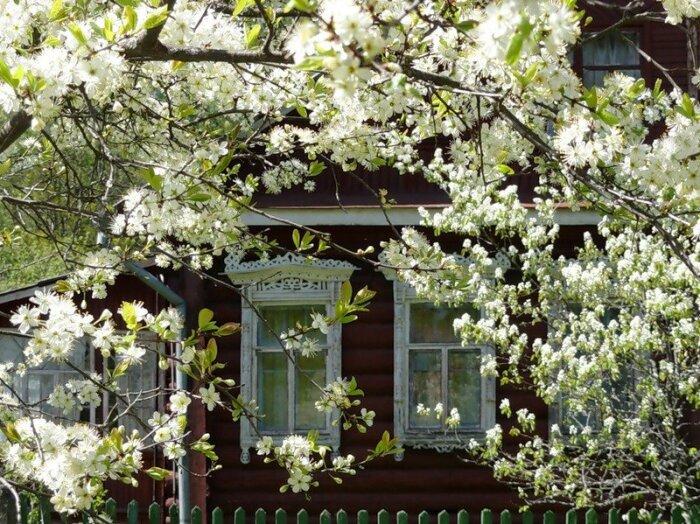 Часто бывает так, что вишня цветет активно, но не плодоносит / Фото: diz-cafe.com