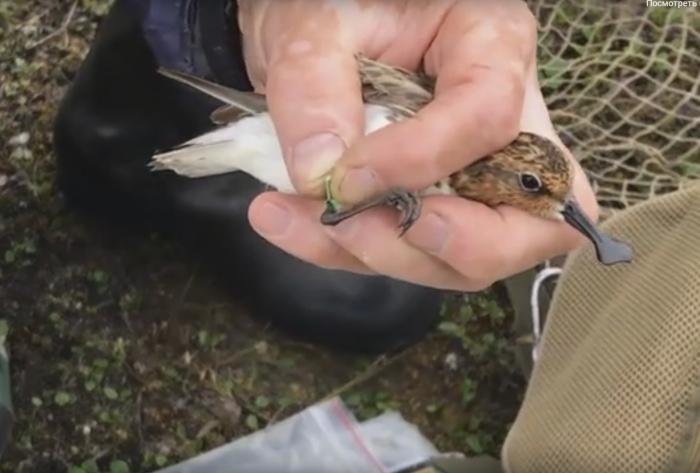 Что проследить за миграцией птиц, лопатню на лапку прикрепляют миниатюрный датчик / Фото: lopaten.birdsrussia.ru