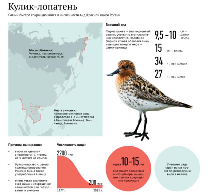 Внимание ученых всего мира к поселку Майна привлекает маленькая птичка кулик / Фото: amureco.ru
