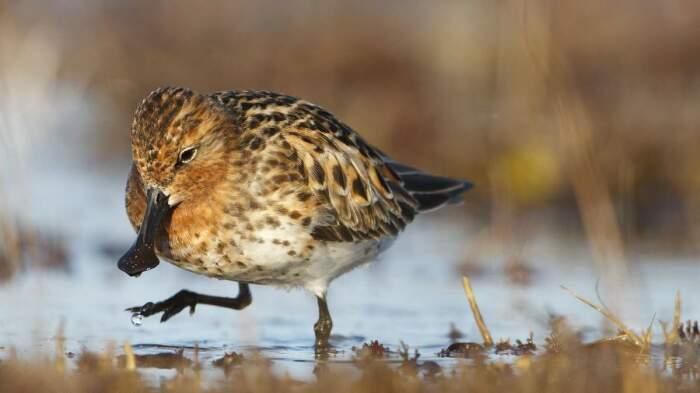 Кулик-лопатень - стремительно вымирающий вид, требующий защиты людей / Фото: ipsig.coolooknews.com