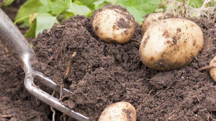 Чтобы собрать хороший урожай картофеля, надо при посадке в лунку положить несколько удобрений / Фото: youtube.com