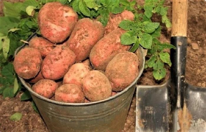 Взаимодействие всех мочевины, золы, кориандра и шелухи помогут получить отличный урожай картофеля / Фото: jemchyjinka.online