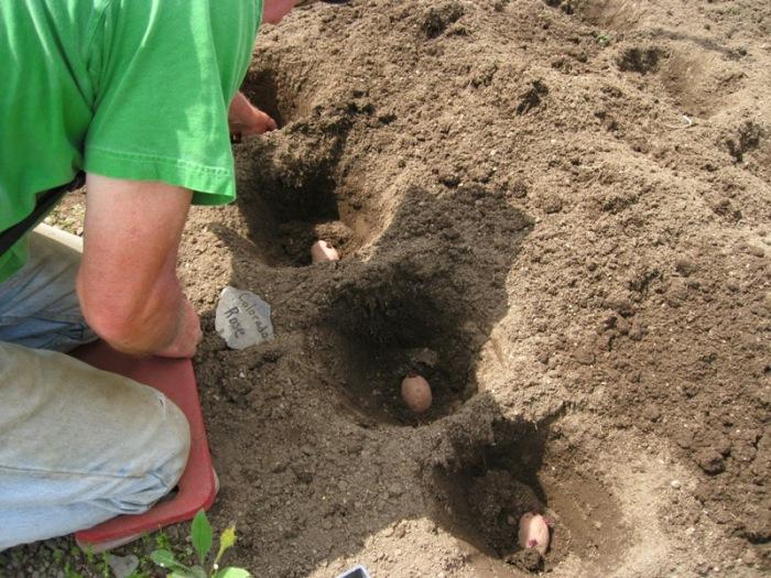 Чтобы посевной материал не контактировал с удобрением, последнее присыпают землей и потом кладут картофель / Фото: teplica-exp.ru