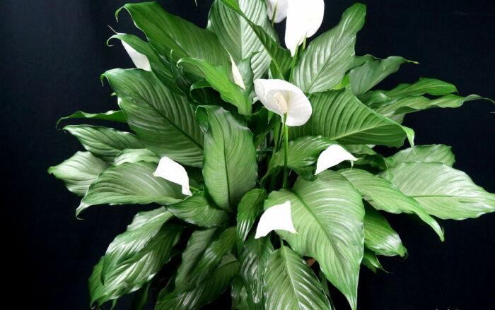 Правильный уход за растением «женское счастье» позволит долгое время наслаждаться нежными белыми цветами / Фото: archidea.com.ua