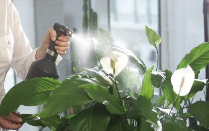 Растение необходимо регулярно поливать, а листья следует увлажнять / Фото: podokonnik.temadnya.com