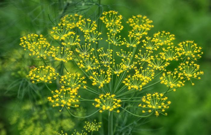 В укропных зонтиках с семенами содержится большое количество полезных веществ и витаминов / Фото: mrfilin.com