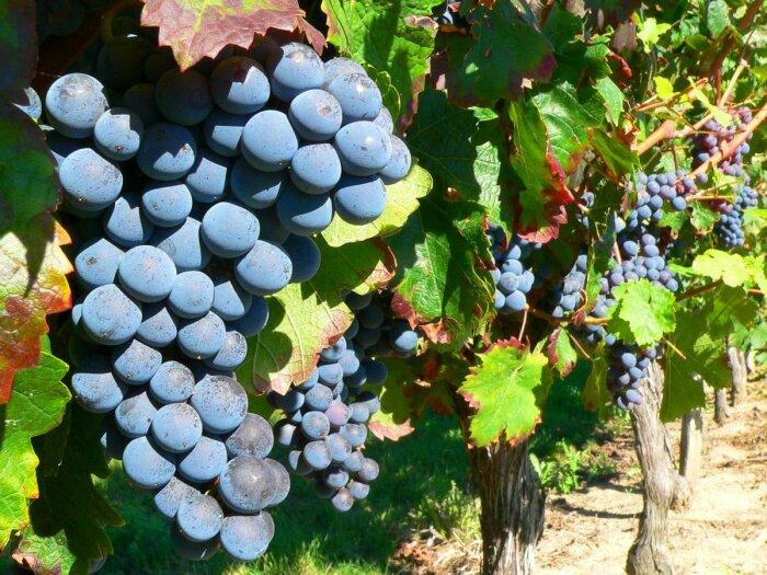 Сорт винограда Изабелла был завезен из США / Фото: oir.mobi