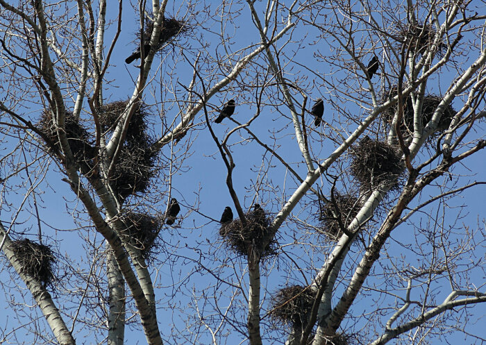 Ворона живет себе преспокойно в городе, а вокруг много «соседей» / Фото: vestiagula.ru