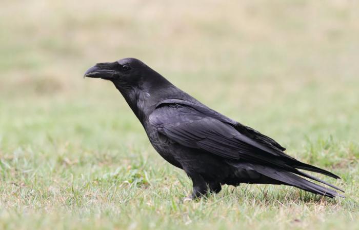 Жизнь ворона длинная 20-25 лет, вороны же живут около 10 лет / Фото: joniecnaturalnie.com