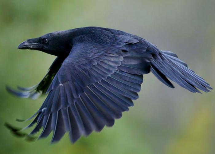 Размах крыльев ворона достаточно большой, он может ими зацепить предметы, которые находятся от каждого крыла на расстоянии метра / Фото: redler.ru