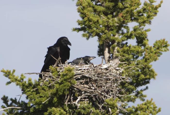 После появления на свет, птенцы через каких-то два месяца по размерам, массе, размаху крыльев сравниваются со своими родителями / Фото: strayfawnstudio.com