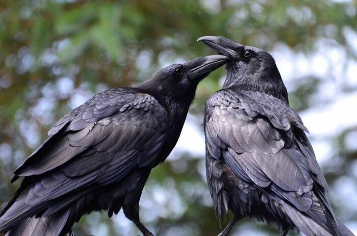 Вороны по своей сути однолюбы, если создается пара, то вместе они будут всю жизнь / Фото: olalastudio.ru