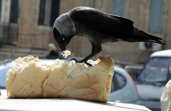 Вороне больше подходит доступная для нее пища: сельхозугодья, баки с мусором и пищевые отходы / Фото: stihi.ru