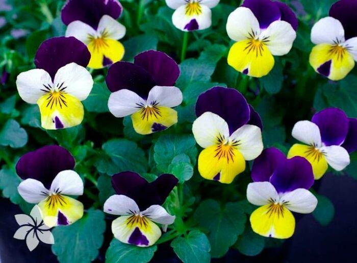 Зола может навредить таким растениям, как рододендрон, трехцветная фиалка, гортензия, лилии и розы (не все сорта), ландыши / Фото: mrfilin.com