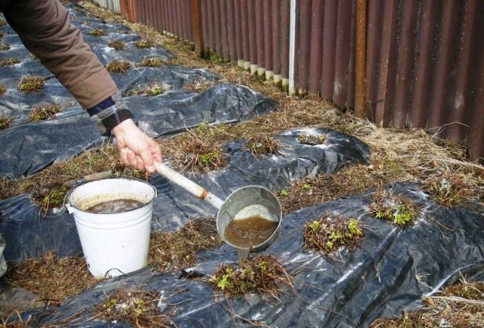 Нельзя применять одновременно золу и навоз, минеральные азотные удобрения, так как первый компонент вытесняет важный для растений азот / Фото: sadimrastim.ru