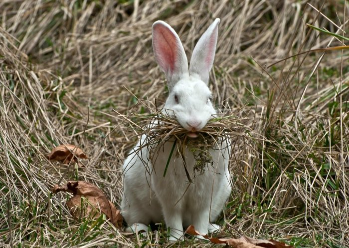 Согласно Старому Завету, кролики не являлись животными с раздвоенными копытами, хотя и жевали жвачку / Фото: yandex.ua
