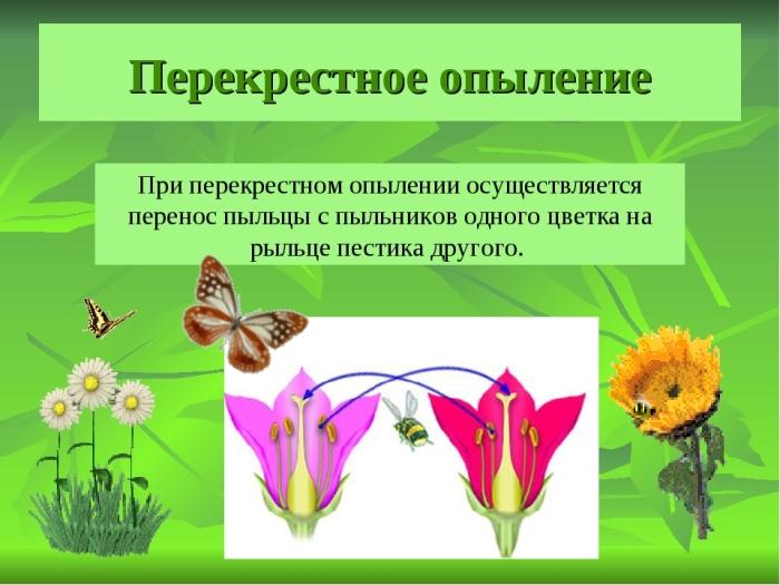 Сама себя опылить клубника не может, ей требуется перекрестное опыление / Фото: infourok.ru