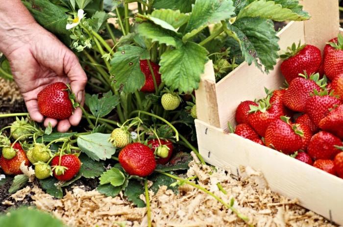 Благодаря правильному уходу клубника будет радовать обильным урожаем ягод / Фото: m.ok.