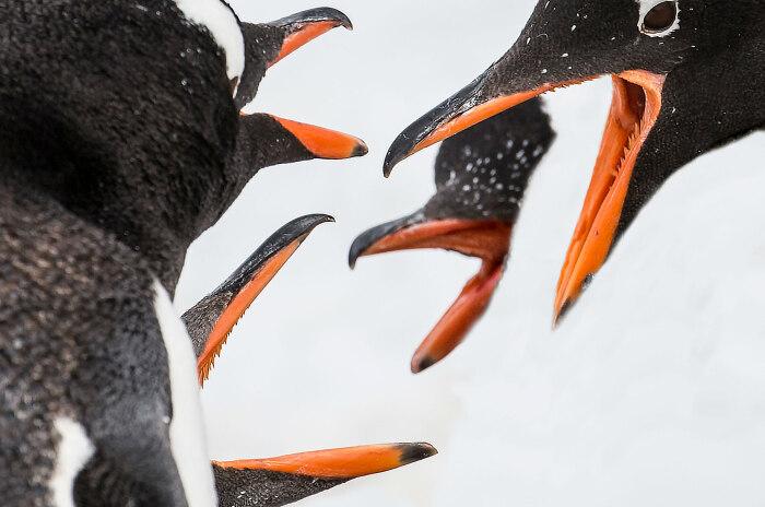 У пингвинов зубы на клюве и языке нужны для удерживания рыбы / Фото: turcluster67.ru