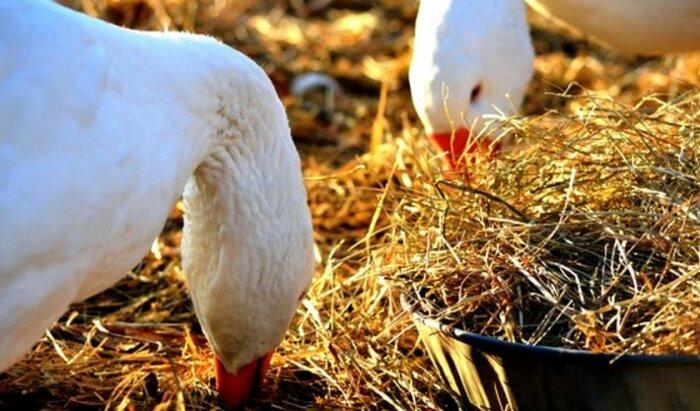 Гуси питаются злаками, травой, водорослями, ягодами / Фото: poradum.com.ua