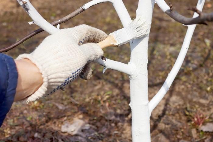 Важно побелить деревья до момента пробуждения насекомых / Фото: azbukaogorodnika.ru