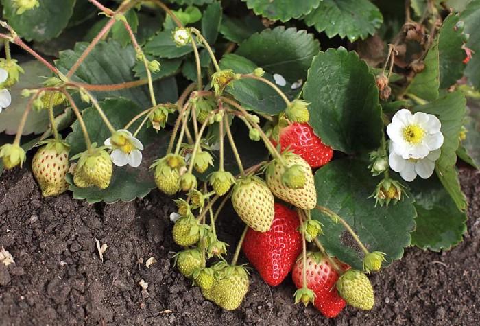 Высаживайте клубнику в грунт, когда у нее сформируется пять листочков / Фото: thezabor.ru