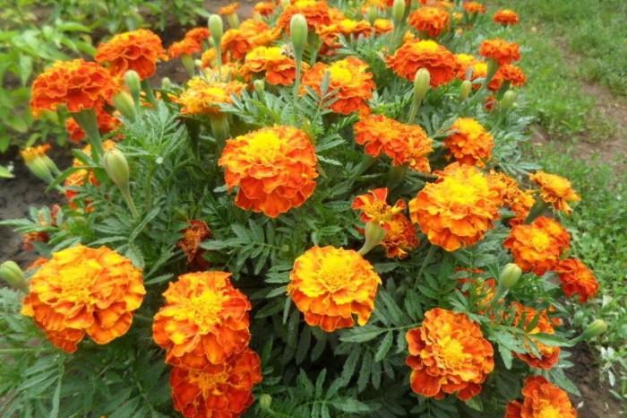 Желто-оранжевые бархатцы можно высаживать в середине июня / Фото: i.mycdn.me