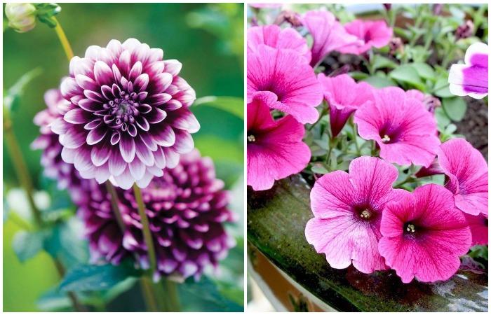 Если высадить рассаду в марте, в мае цветы можно пересадить в открытую почву