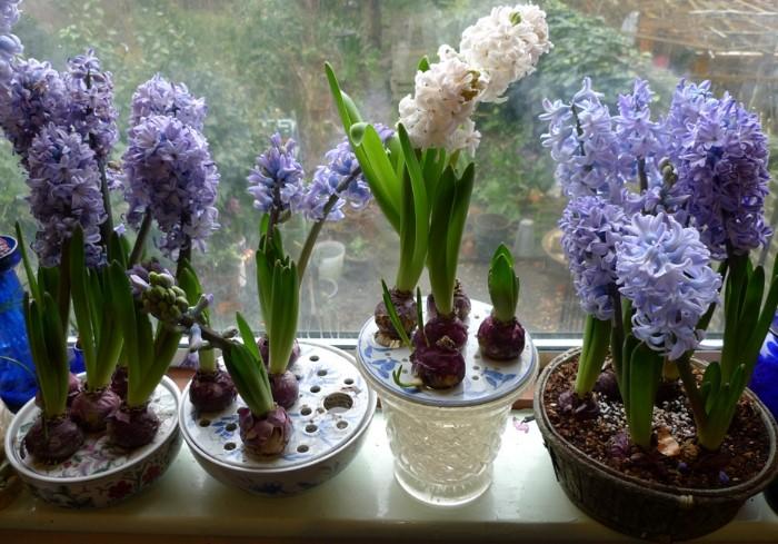 В домашних условиях можно запланировать цветение гиацинта / Фото: gardenwithindoors.org.uk