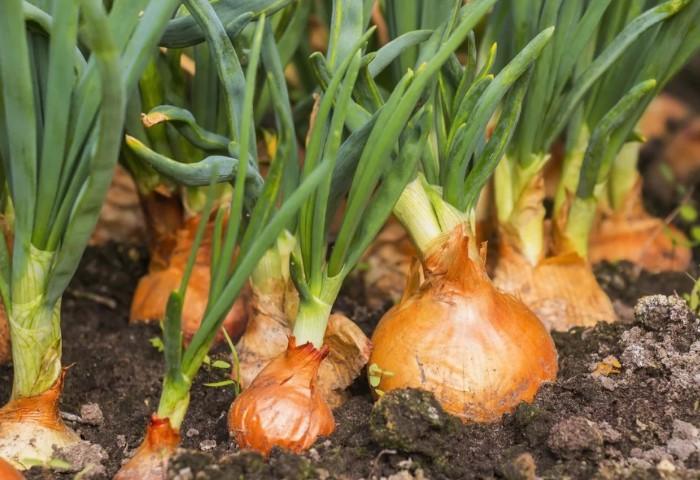 Можно сеять рассаду репчатого лука и лука-порей / Фото: i.mycdn.me