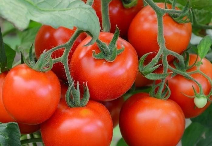 Выбирайте сорта со сроком вегетации от 100 дней и больше/ Фото: stop-pest.ru