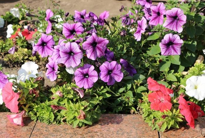 Петунию можно высадить на клумбу или создать садовую композицию с кашпо / Фото: s1.fotokto.ru