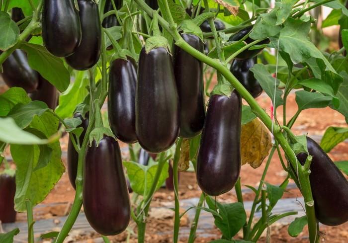 Предварительно семена баклажанов нужно прогреть, протравить и закалить / Фото: pics.botanichka.ru