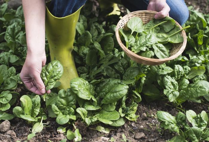 Собирайте шпинат через месяц / Фото: zdorovieinfo.ru
