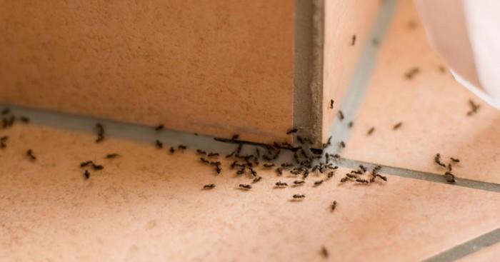 Рыжие муравьи - нежелательные соседи в доме и на огороде