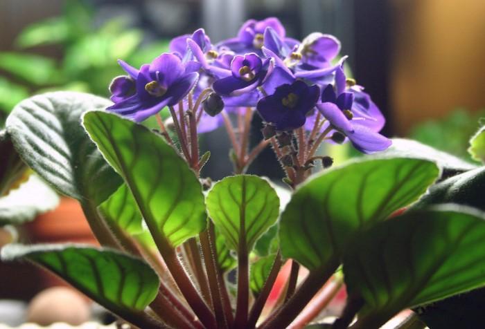 Африканская фиалка популярна среди цветоводов благодаря оригинальному внешнему виду и простоте в уходе / Фото: images.pexels.com