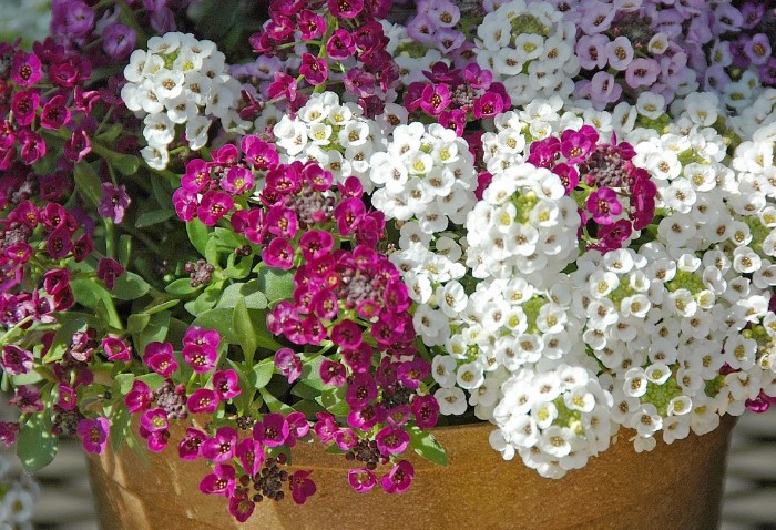 У лобулярии и алиссума одинаковый принцип выращивания / Фото: luxseeds.ru
