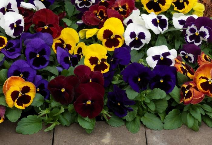Разноцветные анютины глазки украсят любой сад / Фото: atollsad.zp.ua