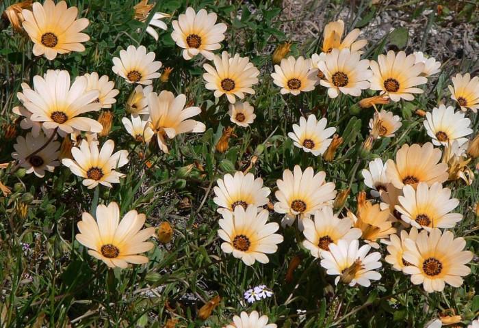 Высокорослые растения с одиночными соцветиями до 8 см напоминают ромашку или герберу / Фото: 101klumba.ru