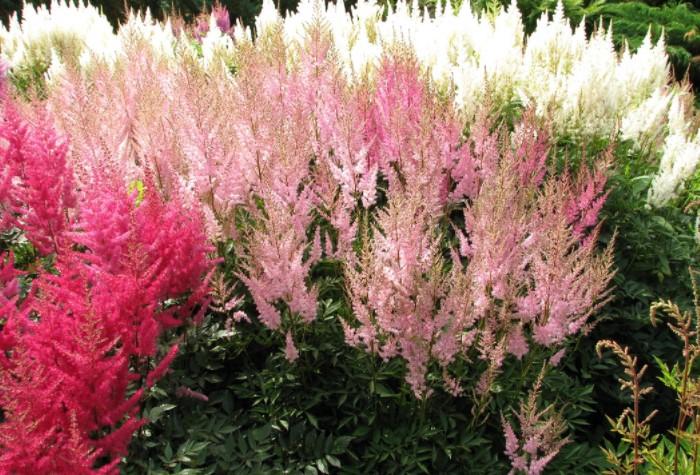Лучше всего смотрится сочетание белых ажурных соцветий «Дарвинс Сноуспрайт» и розово-пурпурные цветы Арендса «Аметиста» / Фото: botsad.ru