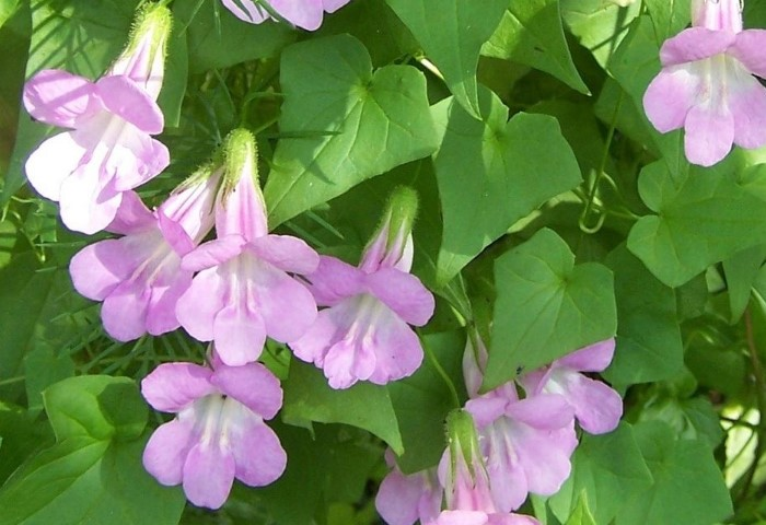 Азарину можно высадить на солнечную клумбу в середине мая / Фото: garden.org