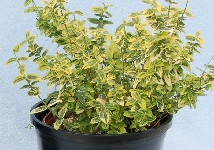Растение можно выращивать не только в саду, но и на прохладном балконе / Фото: semsad.com