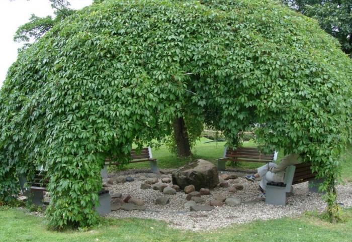 «Плакучее» дерево отличается ниспадающими ветвями, которые образовывают непроницаемые «шатры» / Фото: i.pinimg.com