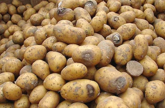Испорченную картошку нужно выбрасывать без сожалений / Фото: greeninfo.ru