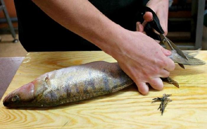 Если у рыбы острые плавники, их нужно обрезать первым делом / Фото: ribolovrus.ru