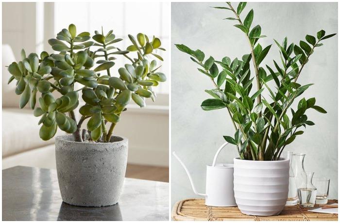 Самые яркие представители - толстянка (денежное дерево) и замиокулькас (долларовое дерево)