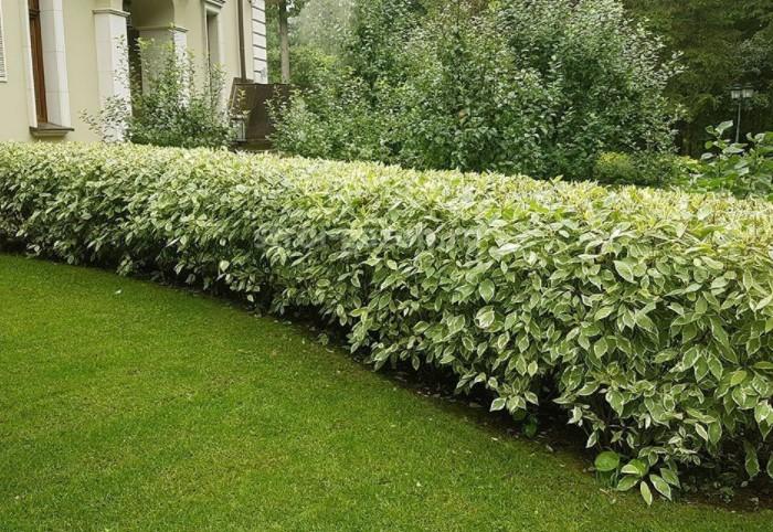 У кустарника с зелено-белой листвой прямые гибкие ветви, которые с годами принимают форму дуги / Фото: cs11.livemaster.ru