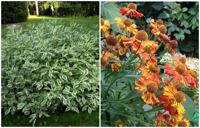 Посадите белый дерен сорта «Элегантиссима» и гелениум осенний на солнечном участке
