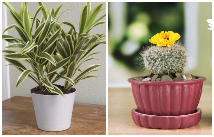 Драцена и кактус не всем по зубам